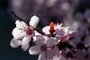 plum in morning light (johngpt) Tags: trees tree floweringplum efs60mmf28macrousm canon40d tpfbokeh