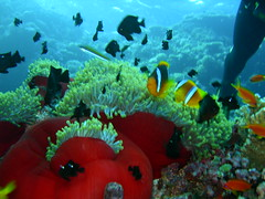 red orange blue green (Nokia 1) Tags: red sea mar redsea rosso pesce pagliaccio marrosso redorangebluegreen pescepagliaccio anemonfish