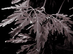 (mightyquinninwky) Tags: autumn blackandwhite bw fall leaves geotagged leaf indiana monochromatic southernindiana japanesemaple ohiorivervalley ohiorivercity geo:lat=37963231 geo:lon=87678322