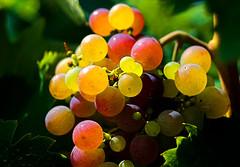 Grape (ljubityel) Tags: nature fruit wine grape colourartaward