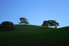 Three oak trees and one bent tree with a hawk perched in it (Dill Pixels (THE ORIGINAL)) Tags: california trees shadow sky sunlight tree grass rural oak soft hawk shapes hills centralcoast highlight magichour hollister unionroad
