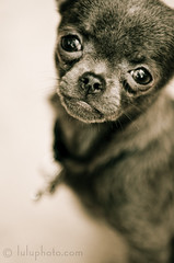Penny (lulu.photo) Tags: dog chihuahua puppy d2x luluphoto nikkor70200mm