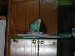 Nibbler on shelf (Fonzmom) Tags: mirrors budgie nibbler