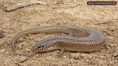 Eyed Skink (Chalcides ocellatus) נחושית עינונית