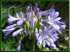 Buds and blooms of Agapanthus praecox (Blue Lily, African Lily), shot Jan 2008