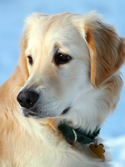 (Pharaoh Hound) Tags: winter portrait dog snow puppy golden retriever ellie pup blueribbonwinner canonef75300mmf456usm