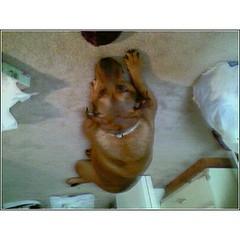 2008x3 (btchyswtnss) Tags: hershey mydog