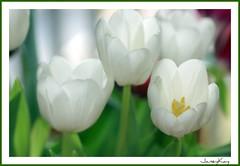Innocence (Janey Kay) Tags: white flower macro fleur tulips flor nikond50 blume 2008 fiore weiss tulpen blanches tulipes flowerotica macroflowerlovers janeykay