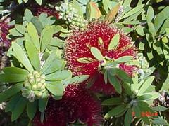 An exotic flower in Honolulu, Ohau (sachk) Tags: ohau anexoticflowerinhonolulu