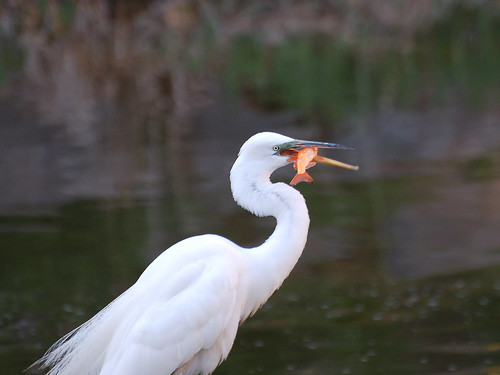 Great Egret and Goldfish