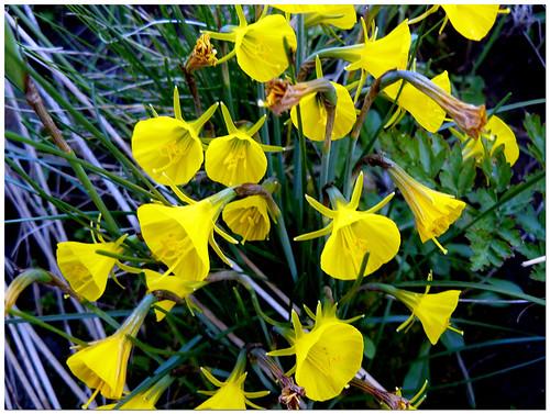 El Tiempo Por Si Mismo Narcisos Amarillos - Narcisos-amarillos
