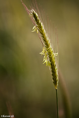 Simple (kavan.) Tags: plant nature grass canon weed bokeh cluster simplicity bunch simple kavan 400d 70200lf4is