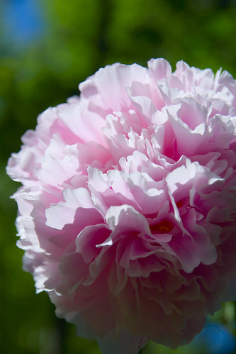 peonies at nanas.jpg