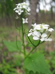 tiny white blossoms (sassyseltzer) Tags: floraandfauna whiteblossoms alongthehikingtrail