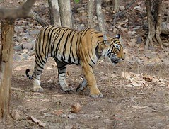 Ranthambhore (Koshyk) Tags: india female wildlife tiger royal queen safari rajasthan majesty ranthambhore route4 sawaimadhopur ranthambhorenationalpark salveanatureeza