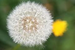 Pusteblume (Yvonne Warneke) Tags: clock dandelion dandelionclock pusteblume blowball loewenzahn