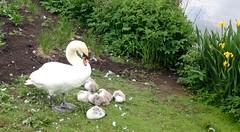 SWAN (valerie C bayley) Tags: swansbirdswater cygnets iphonenatureplacestovisit nature gardens trentham waterfowl water birds