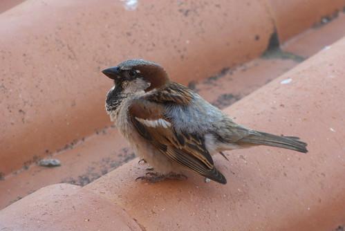 20160610 002 Hotel Zodiaco, Quarteira. House Sparrow, Passer domesticus