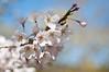 Cherry Blossom in High Park (Chow_DAH) Tags: toronto flower nature highpark bokeh cherryblossom