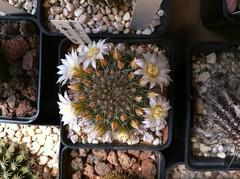 Mammillaria zeilmanniana (Cacti & Succulents) Tags: mammillaria zeilmanniana