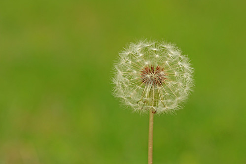 Dandelion by kayaker1204