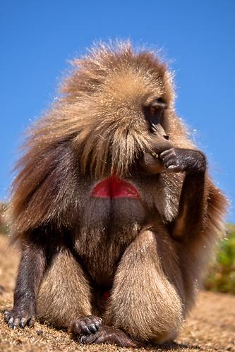 Gelada Baboon-The Simien Mountain National Park-ethiopia.