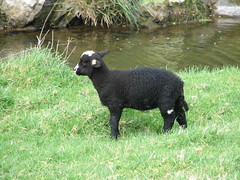 Makara Sheep (TELPortfolio) Tags: newzealand sheep wellington blacksheep makara 10millionphotos jalalspagesanimalkingdom