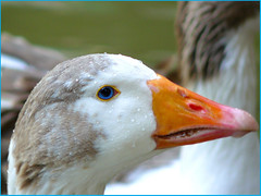 ~ Charming Eyes ~ (Leonardo Martins) Tags: blue brazil orange white bird eye animal brasil riodejaneiro grey duck interestingness interesting eyes bresil catete searchthebest vivid palace brasilien brasile brsil 343 brazili blueribbonwinner interestingness343 i500  anawesomeshot