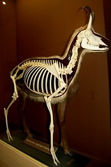 Skeleton/Taxidermy (Curious Expeditions) Tags: sterreich salzburg animal museum puppy austria naturalhistory naturalhistorymuseum freaks grafted deformed cryptozoology hausdernatur houseofnature curiousexpeditions