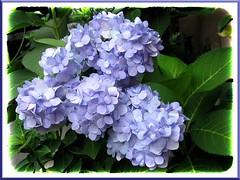 Hydrangea 'Endless Summer' in full bloom, captured October 6, 2007