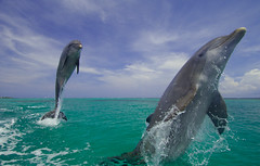 Jumping Dolphins (sdbuckel) Tags: jumping action flipper bottlenosedolphin tropicalsea