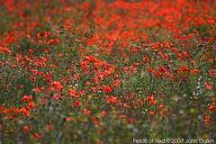 Fields of red ..... Lest We Forget (Heaven`s Gate (John)) Tags: red green nature field botanical memorial war poppy wildflower lestweforget november11th 10faves johndalkin heavensgatejohn remberanceday aplusphoto top20red onlythebestare