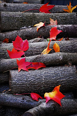 log (Lani Barbitta) Tags: autumn nature nikon explore 18 lani redleaves woodpile polaris 50mm18 naturesfinest d40 splendiferous nikond40 everywherewalks top20autumn top20autumn20 lanibarbitta barbitta gettyonsale