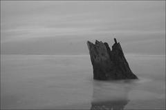 big tree...   once (Lukas Randall) Tags: ocean longexposure blackandwhite tree beach water clouds oregon grey waves stump oregoncoast