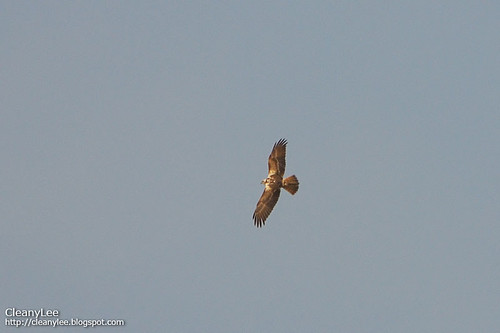 東方澤鵟 (Eastern Marsh Harrier) Circus spilonotus