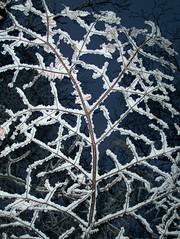 Fresh Snow (cute raco girl) Tags: winter white snow wet rain branch michigan sticky upperpeninsula 2007