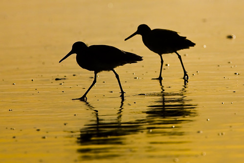Two Willet birds in silhouette by Flickr user mikebaird