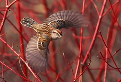 Fire Bush (tinyfishy) Tags: bird flying inflight sparrow americantreesparrow naturesfinest abigfave impressedbeauty superbmasterpiece diamondclassphotographer betterthangood