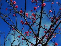 Sakura branch (Iuri Fernandes) Tags: pink flores flower nature colors japan cherry natureza flor olympus sakura okinawa cereja nihon japao e330