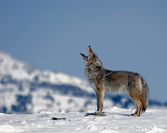 Howling Coyote - Yellowstone (Dave Stiles) Tags: coyote winter wildlife yellowstonenationalpark yellowstone nowpublic stiles canislatrans specanimal specanimalphotooftheday platinumphoto yellowstonewildlife awesomepictures empyreananimals naturewatcher natureoutpost theperfectphotographer goldwildlife tup2 platinumsuperstar wintercoyote ynpwinter2008 natureandnothingelse vosplusbellesphotos