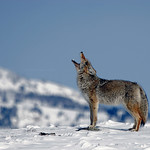 Howling Coyote - Yellowstone