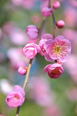 A Good Afternoon (*Sakura*) Tags: pink flower green japan blossom plum explore sakura bud  earlyspring