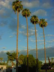 tall palm trees (hector.acuna) Tags: arizona southwest phoenix palm valleyofthesun hectoracuna maniaverse hctoracua