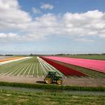 Beemster: Westdijk landscape in spring bulbs
