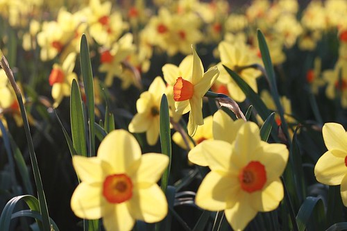 daffodils in the setting sun (by mintyfreshflavortream)