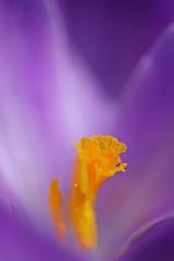Crocus II (musapix) Tags: plant abstract flower nature yellow botanical purple crocus petal