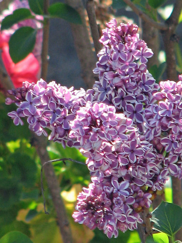 Lilacs, closeup