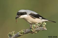 (N-S-S) Tags: bird birds nikon sigma kuwait nikkor 800 800mm d300  nss    vwc   d2xs mywinners abigfave    kvwc