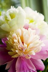 peonies, again (ion-bogdan dumitrescu) Tags: pink flowers white flower beautiful ivory peony romania pure bucharest peonies paeonia paeony paeonialactiflora bitzi ibdp img1405mod findgetty ibdpro wwwibdpro ionbogdandumitrescuphotography