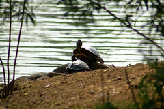 Over Here (Peter Michailidis) Tags: rock turtle ripple distance